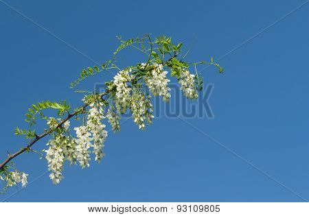 Branch of acacia against pure blue sky