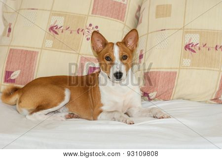 Cute basenji having rest on the sofa