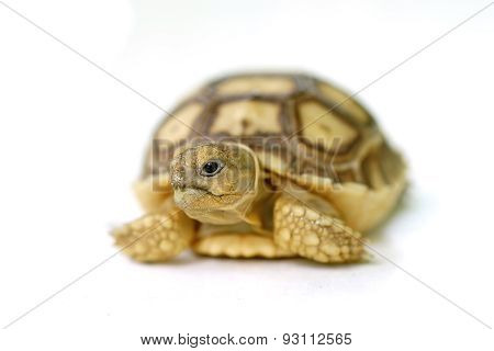 African Spurred Tortoise Or Geochelone Sulcata On White Background