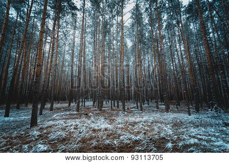 Toned Photo Of Old Winter Forest At Evening
