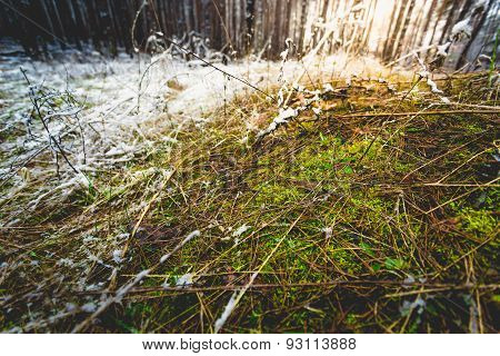Macro Shot Of Green Grass Growing Through Snow At Forest