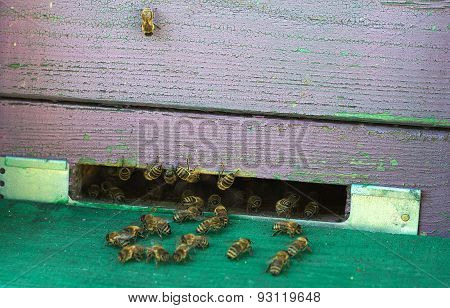Hive landing place with bees on board