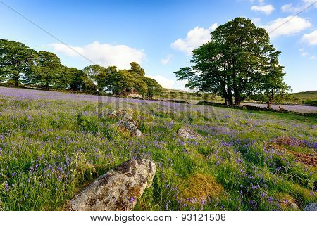 Bluebells On Dartmoor