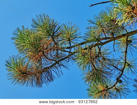 Pine Branch Against Blue Sky In Summer