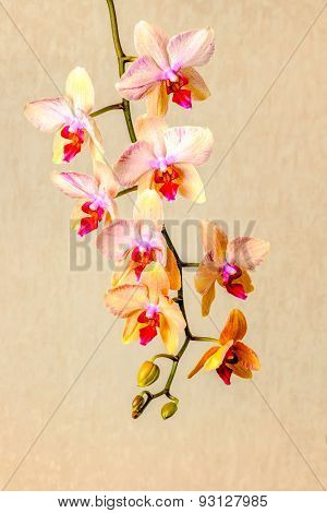 Beautiful Composition Of Blooming Twig Orchid Flower, Phalaenopsis On Beige Background, Closeup
