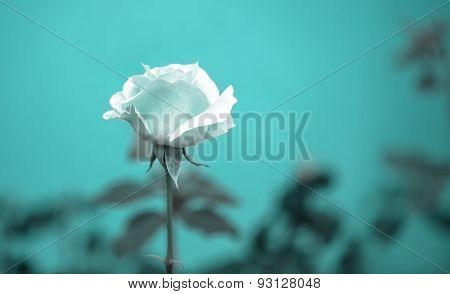 Beautiful Romantic Blue Rose Flower On Toned Green Blur Background, Vintage Style