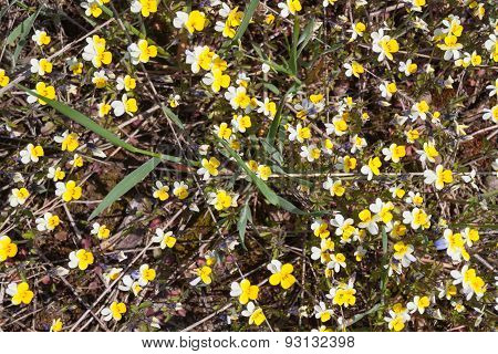 Small Yellow White Flowers On The Ground