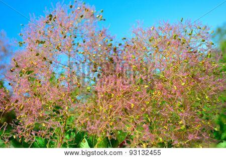 Fluffy pink plant
