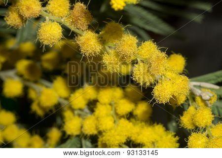 Mimosa Macro