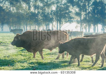 Cattle On A Cold Morning