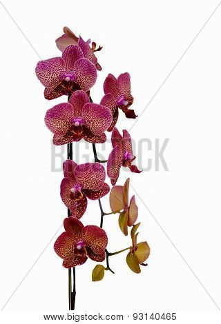 Natural Orchid Beauty Bloom. Phalaenopsis Orchid