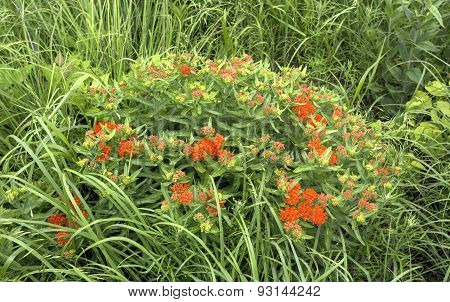 butterfly milkweed plant with orange blossoms