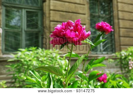 Pink peonies on flowerbed, closeup