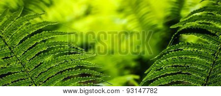Green Leaves Of Fern