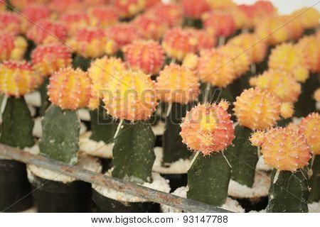 Cactus In A Pots In The Garden.