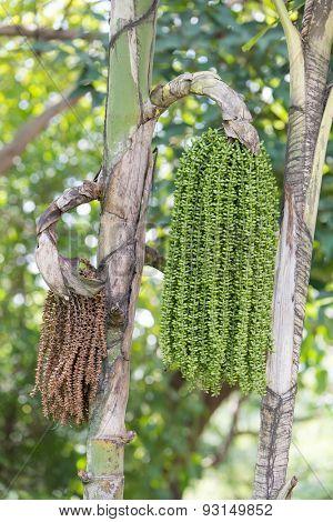 Areca Nut Palm on Tree