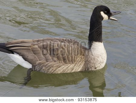 Cackling Goose Is Screaming