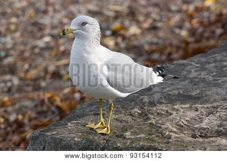 The Calm Gull