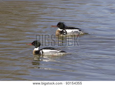 Red-breasted Mergansers Are Swimming
