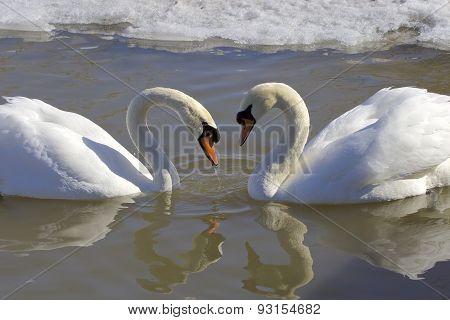 The Mute Swans In Love. The Heart Shape