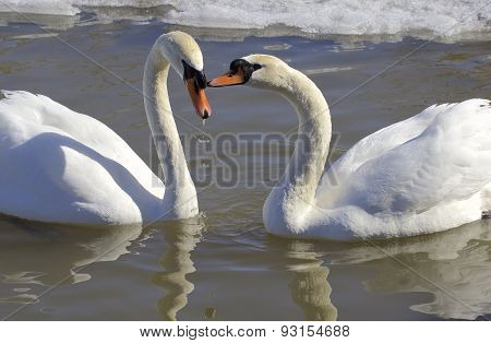 The Mute Swans In Love