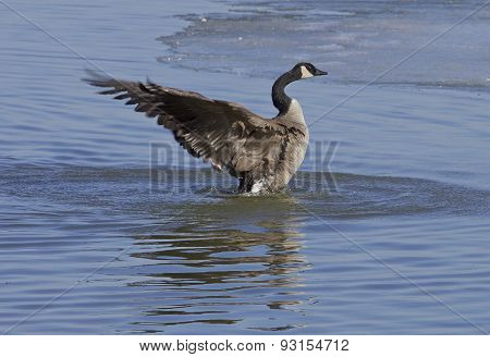 The Cackling Goose Power