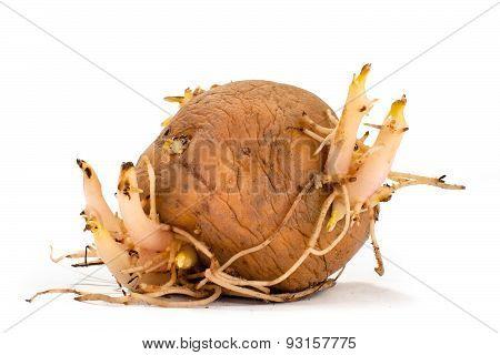Germinating Potato On White  Background