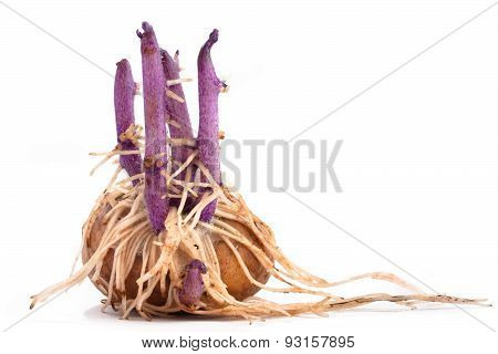 Potato With Sprouts And Roots