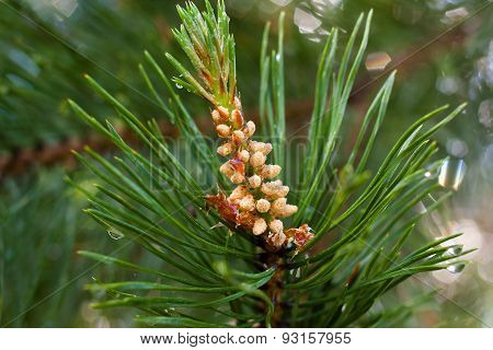 Strobile On The Branches Of Pine