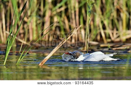 Black-headed Gull Cleaning In Water