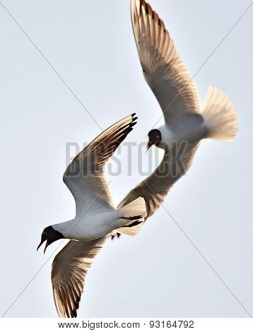 Adult Black-headed Gulls In Fight,