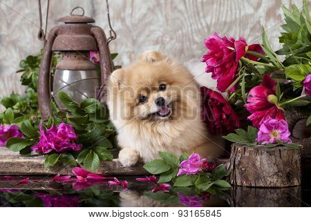 puppy pomeranian and flowers