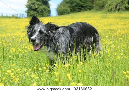 Border collie in field of gold