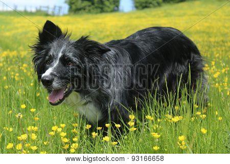 Summer shot of border collie