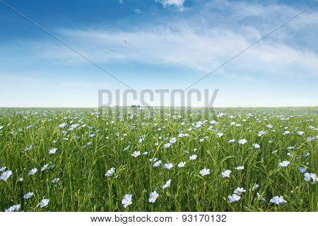 A Field Of Blue Flax Blossoms