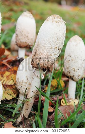 A group of Inky Caps Mushrooms (Coprinaceae family). This edible mushrooms, also known as Shag, Shaggy mane and Lawyer's Wig (Coprinus comatus), grow in the state of Oklahoma.