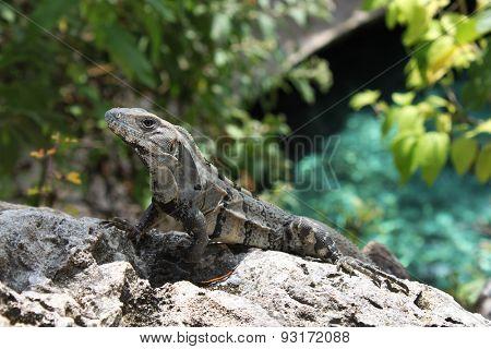 Large iguana resting on a rock