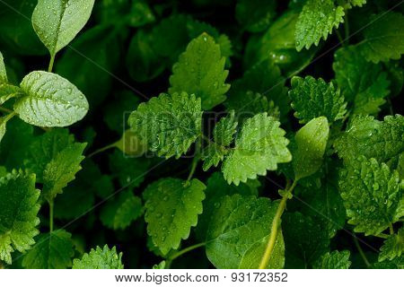 Fresh Lemon Balm Growing Out Of Clay. Isolated On White Background.
