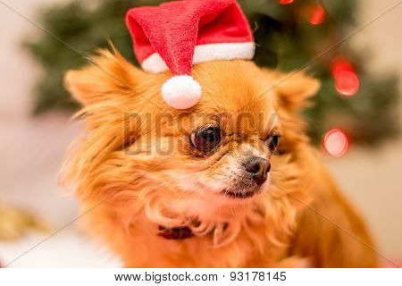 Long Haired Chihuahua At Christmas