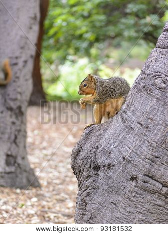 North American Squirrel Eating Ground Nuts