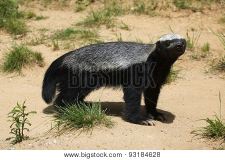 Honey badger (Mellivora capensis), also known as the ratel. Wildlife animal.
