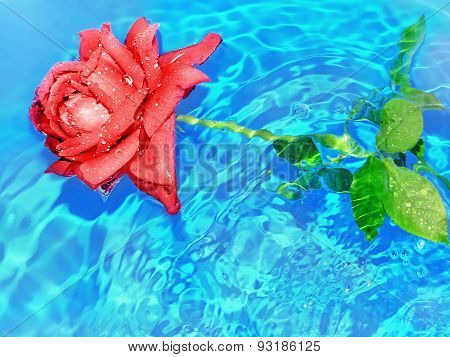 rose in water