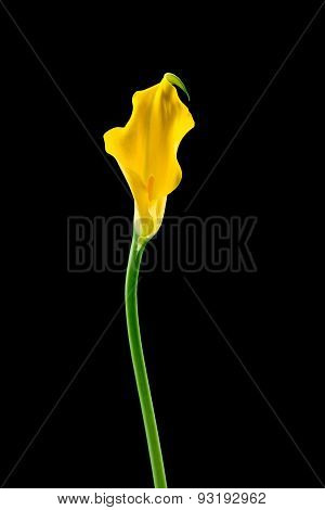 Calla flower on black background