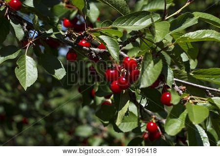 Branch Of Ripe Cherry Of An Early Grade