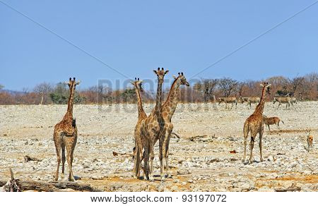 A Journey of Giraffes on the Etosha Plains