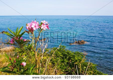 Pink Oleander Flowers And The Blue Sea