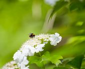 picture of bumble bee  - bumble bee and flower on a beautiful blurred background - JPG