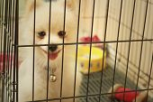 pic of caged  - Pomeranian puppy in a cage at the park - JPG