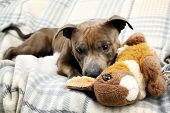 stock photo of toy dogs  - Dog with broken toy bunny rabbit on home interior background - JPG