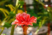 image of torches  - Torch ginger flower in the garden of Thailand  - JPG